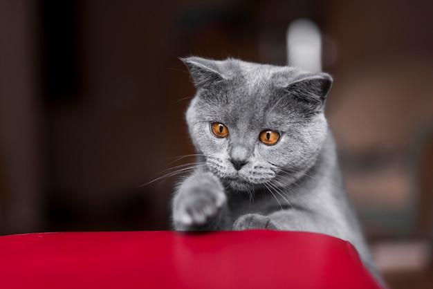 グレーのブリティッシュショートヘアの猫の正面図