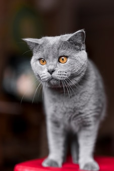 グレーのブリティッシュショートヘアの猫のクローズアップ