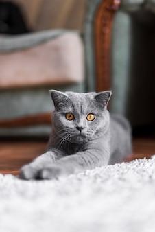 横になっている灰色のブリティッシュショートヘアの猫のクローズアップ