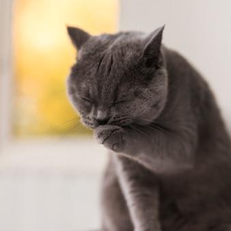 彼女の足を掃除するかわいいグレーブリティッシュショートヘアの猫