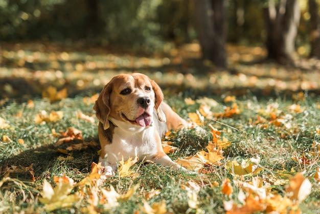 舌を突き出て草の上に横たわるビーグル犬の正面図