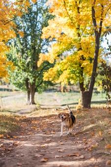 森林歩道で走っているビーグル犬の正面図