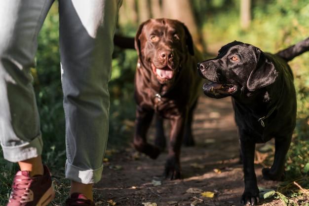 Низкая часть женщины гуляет с двумя собаками в лесу