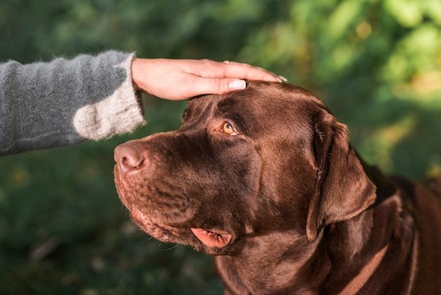 人の手が公園で彼女のラブラドール犬をなでる