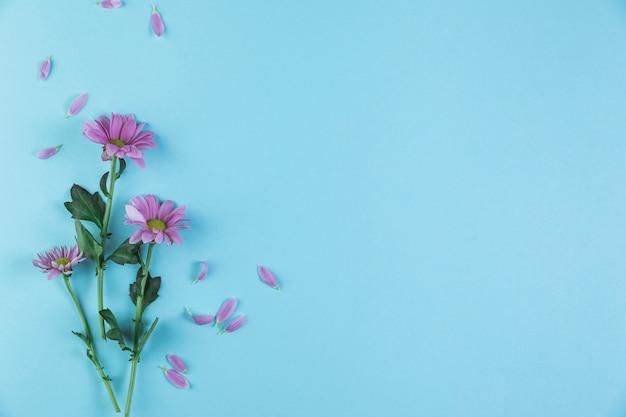 青色の背景にピンクのカモミールの花の小枝