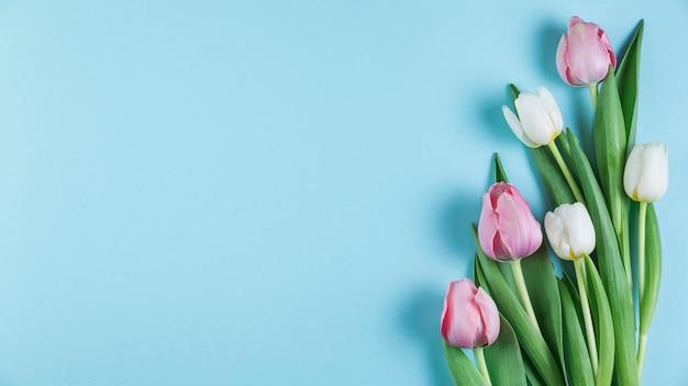 青い滑らかな背景の上の新鮮なピンクと白のチューリップ