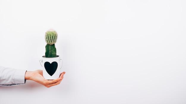 人間の手の白い背景の上の鍋にハート形の多肉植物
