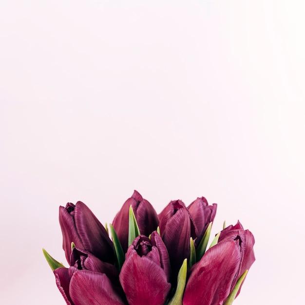 色付きの背景に新鮮な赤いチューリップの花のクローズアップ