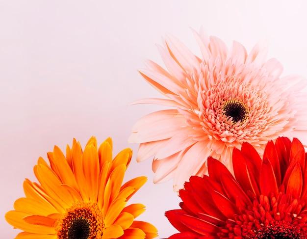 Розовый; оранжевый и красный цветок герберы на розовом фоне
