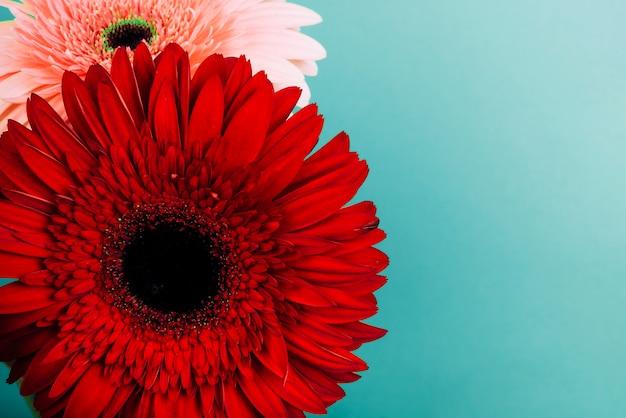 Красный и розовый цветок герберы на бирюзовом фоне