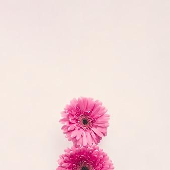 Розовый цветок герберы на белом столе