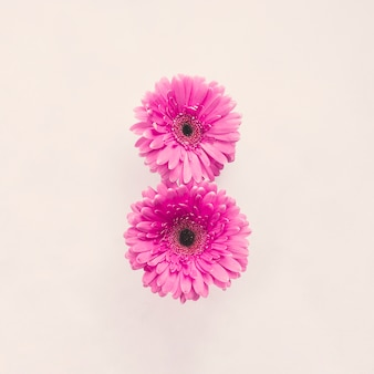 Две розовые цветы герберы на белом столе