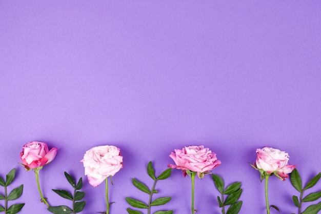 ピンクのバラは紫色の背景に行を手配します。