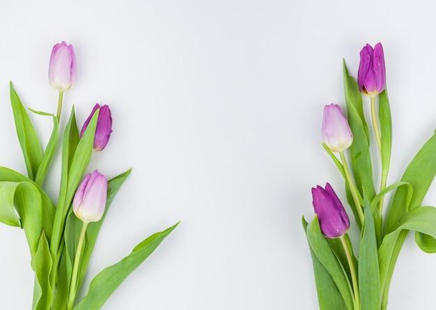 春のチューリップの花の白い背景で隔離