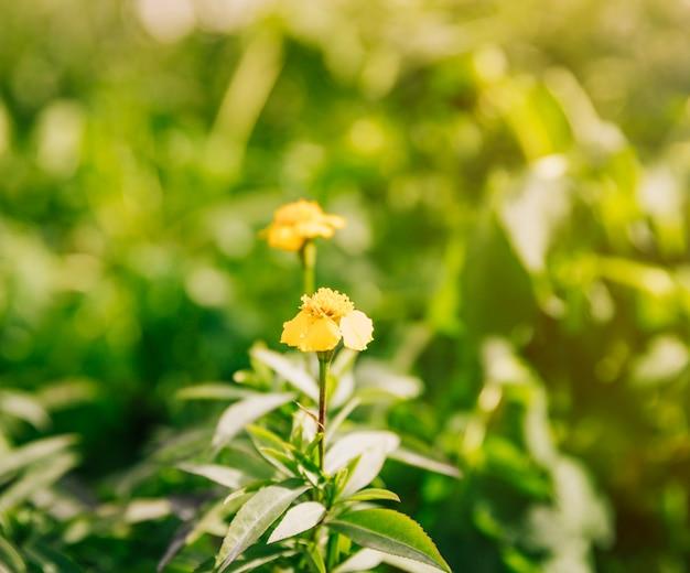 日光の下でタイム植物の美しい黄色い花