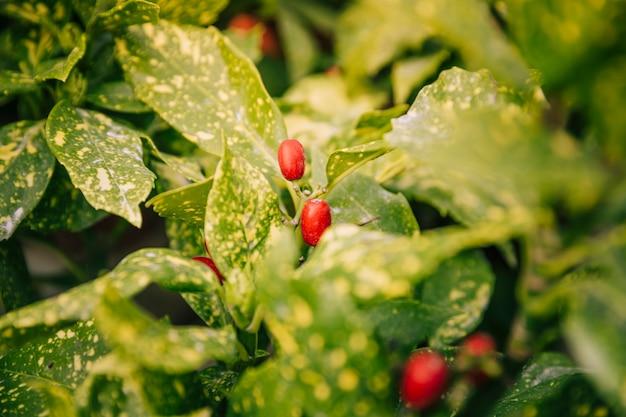 植物に赤いベリー果実のクローズアップ