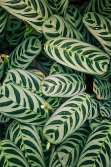 カラテアマコヤナや孔雀の葉のシームレスなエキゾチックなパターン