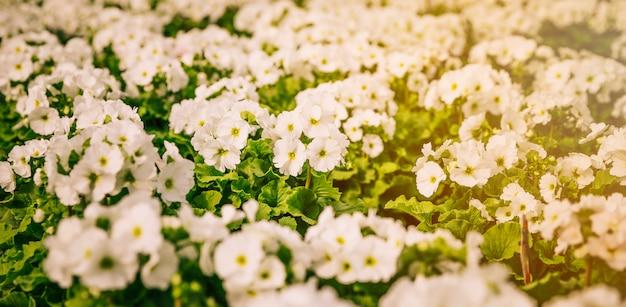 Панорамный вид маленьких белых цветов в саду