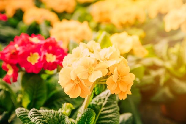 日光の下で黄色の花と春の背景