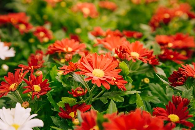 背景の赤い菊の花