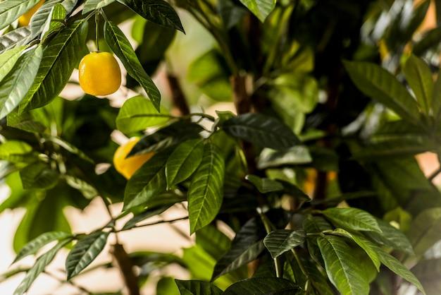 緑の木に成長しているレモン