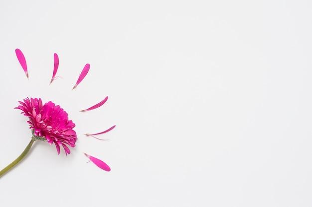 ガーベラの花と白いテーブルの上の花びら
