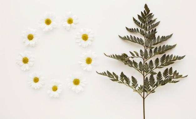 Круг бутонов цветка ромашки возле ветки растения