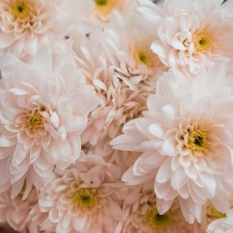 背景として美しい白い菊