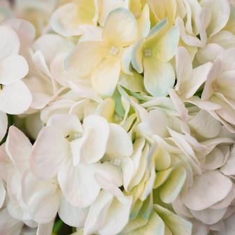 白いアジサイ大葉花のクローズアップ