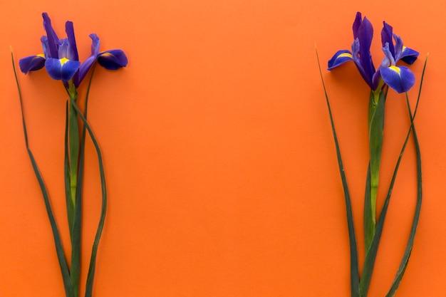 色付きの背景上のアイリスの花の配置