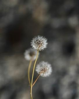 白いタンポポの花のクローズアップ