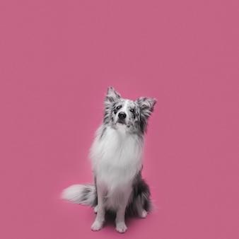 かわいいボーダーコリー犬のスタジオ撮影