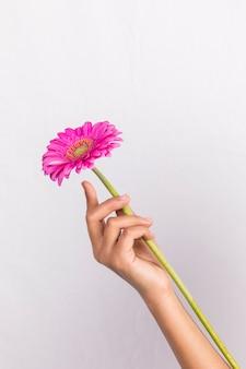 ピンクのガーベラの花を持っている人