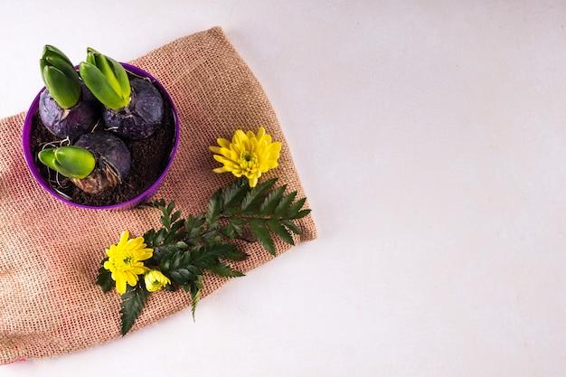 黄麻布の花の近くの小さな鍋で成長している花の球根