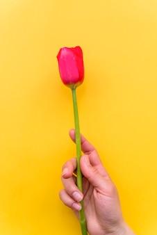 壊れやすい赤いチューリップの花を持つ人