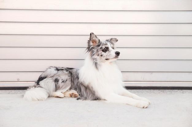 ボーダーコリー犬