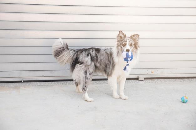 Портрет бордер-колли собаки