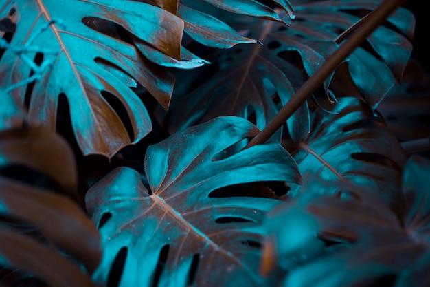 Листья ботанического монстера