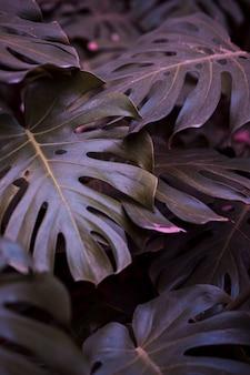 植物モンステラの葉
