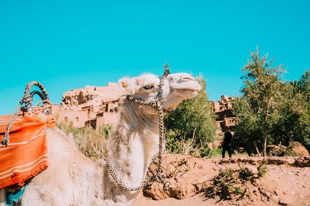 砂漠のラクダ