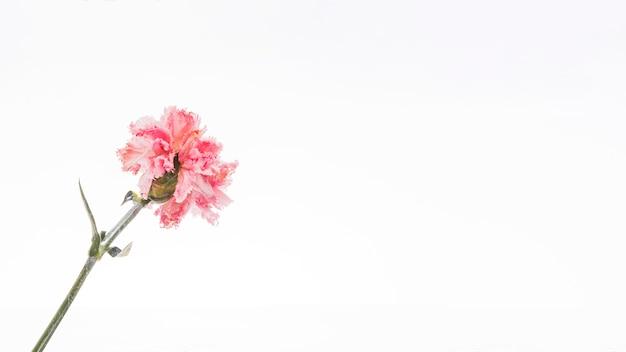 Розовая гвоздика на белом фоне