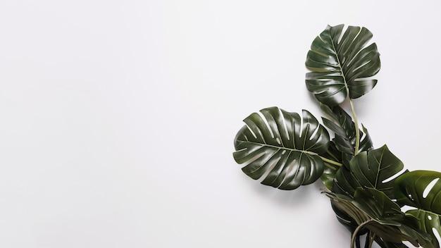 白い背景の上の緑のモンステラの葉