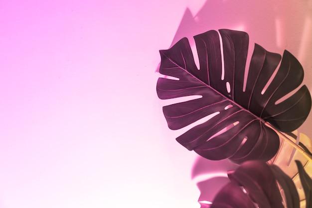 ピンクの背景にモンステラの俯瞰を葉します。