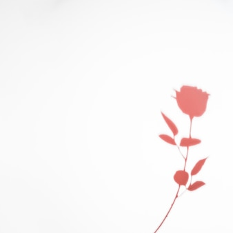 白い背景で隔離ピンクのバラの影