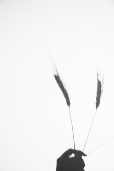 白い背景に対して小麦の穂を持っている人の手のクローズアップ