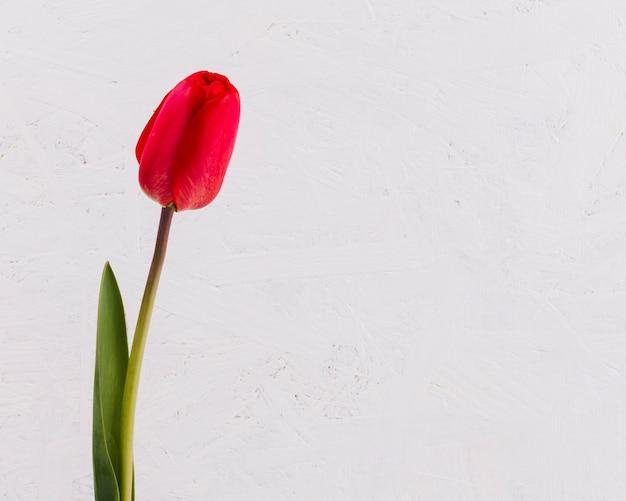 装飾的なチューリップの花
