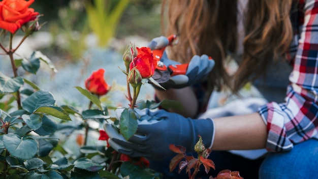 担任と植物から赤いバラをトリミング女性庭師の手のクローズアップ