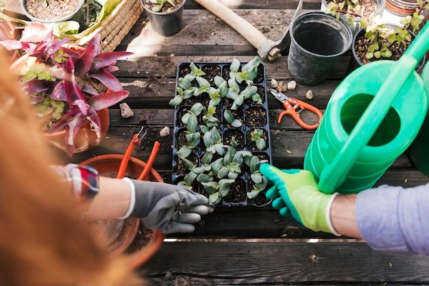 Вид сверху садовника мужского и женского пола, касающегося рассады растений в ящике