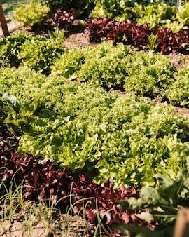 Салат в огороде