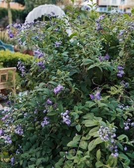 春のラベンダーの花植物の庭のクローズアップ